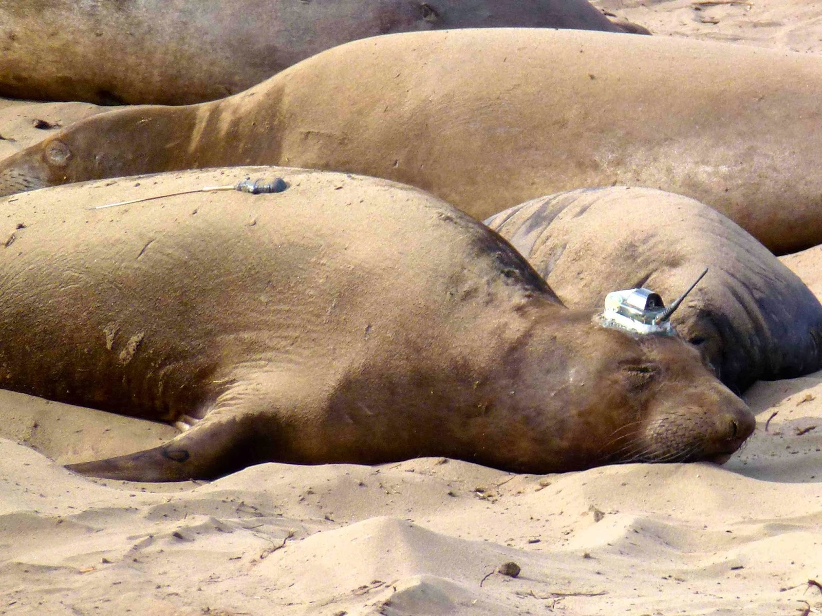 Dozing in the sand, this light brown female has transponders glued to her head and back which will come off when she molts in the summer.