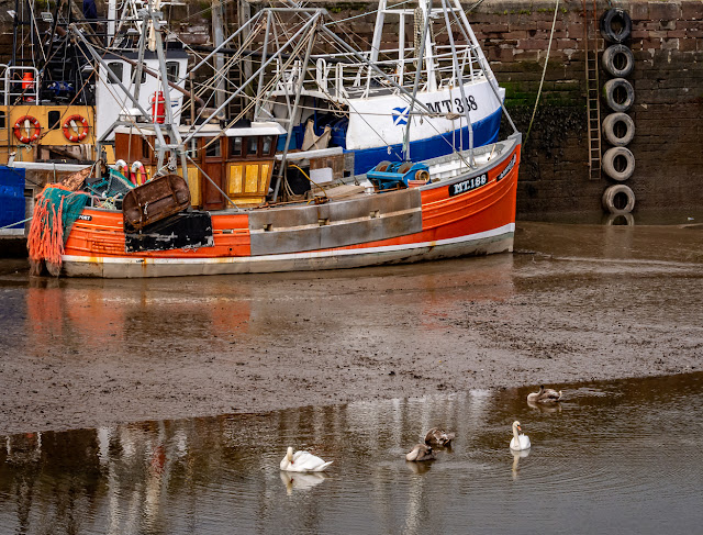 Photo of the swan family in Maryport Harbour on Wednesday afternoon