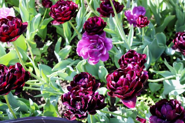 Необычный сорт тюльпанов