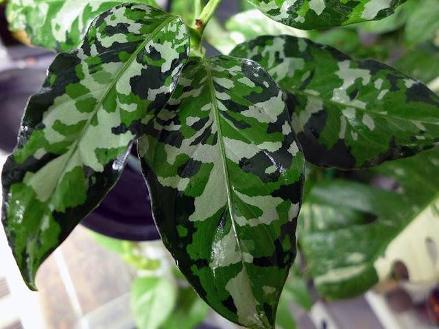 Especie Aglaonema pictum tricolor. Nombre vulgar: planta soldado