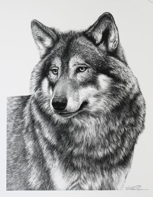 14-Wolf-Portrait-William-Bill-Harrison-Majestic-Wildlife-Carbon-Pencil-Drawings-www-designstack-co