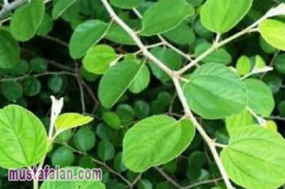 hadits tentang manfaat daun bidara