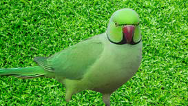 About Parrot in hindi