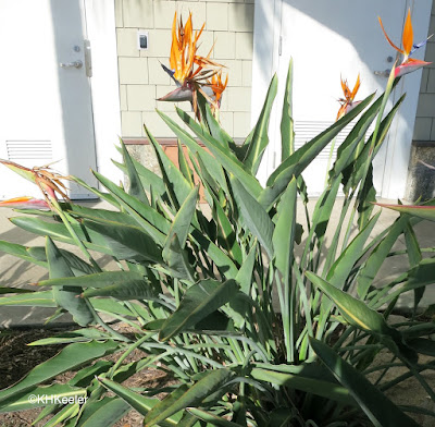 Strelitzia reginae bird-of-paradise plant