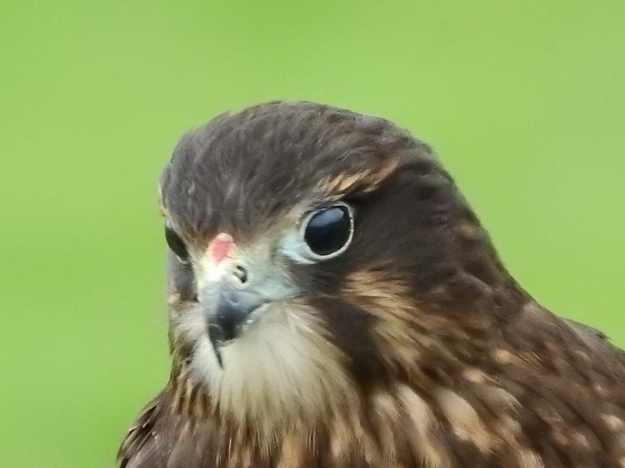 wingspan, NZ