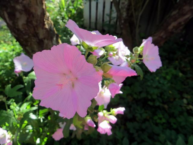 garden flower pink mallow