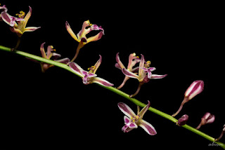 Acriopsis liliifolia orchid plant care and culture