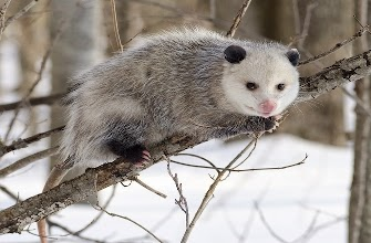 03.ඔපොසම් (Opossums)