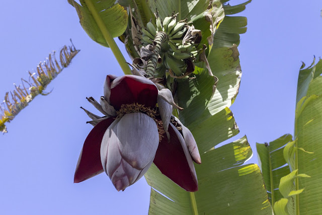 Banana Flower Effective Treats Diabetes Patients