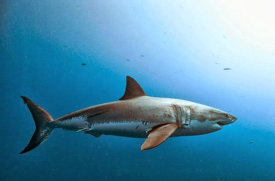 Tiburones en Galicia: Claves de los Lamniformes