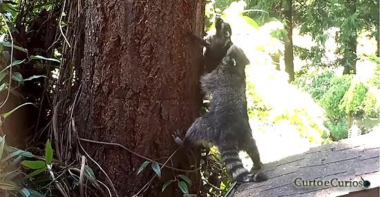 Mamãe Guaxinim tenta de tudo pra ensinar seu filhote a subir em árvore