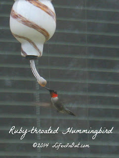 This male ruby-throated hummingbird's bright red throat makes him easy to spot. | LifeInOut.com