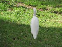 Cattle egret back view, Ala Moana Park, Oahu - © Denise Motard