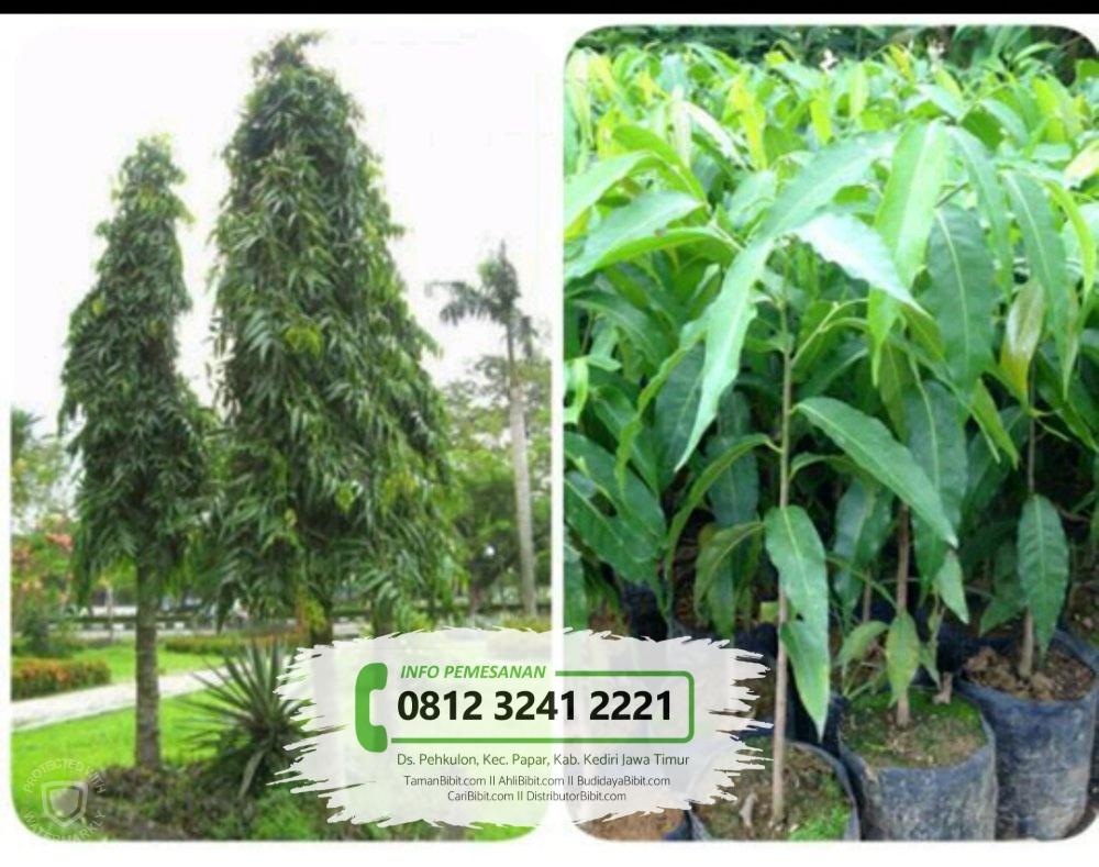 Jual Bibit Pohon Glodok Tiang