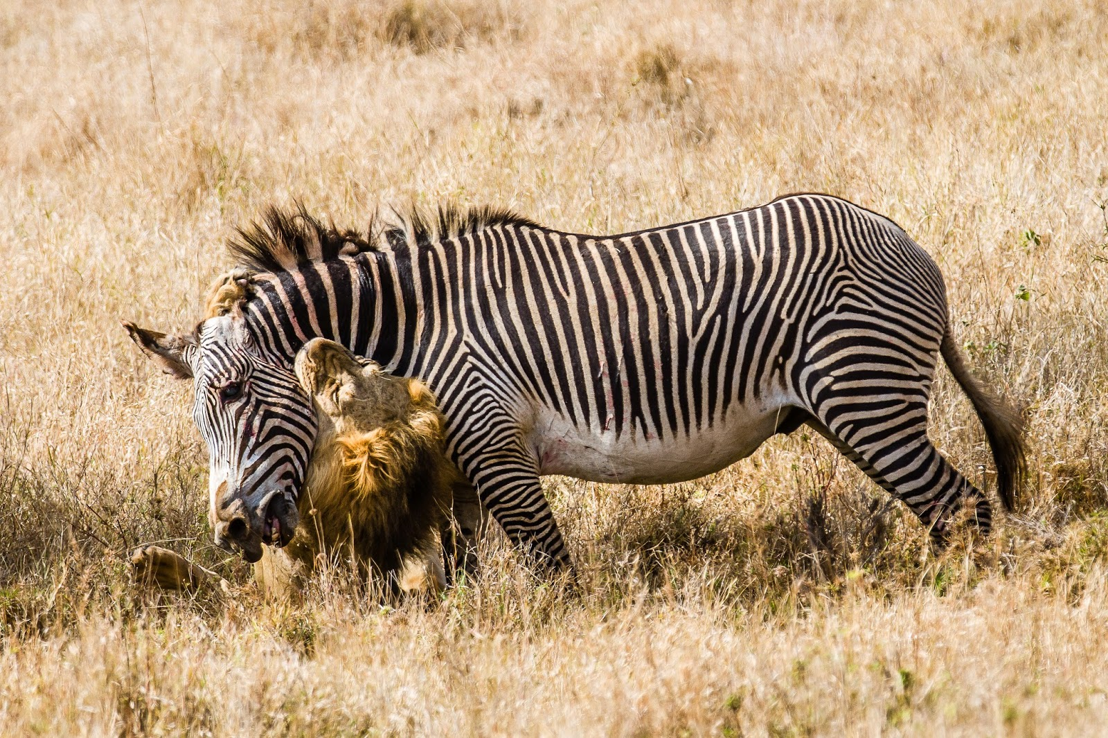 zebras and lions - photo #17