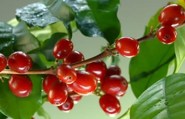 Giá cà phê hôm nay 19/4: Giá trong nước hướng tới mốc 33 triệu đồng/tấn