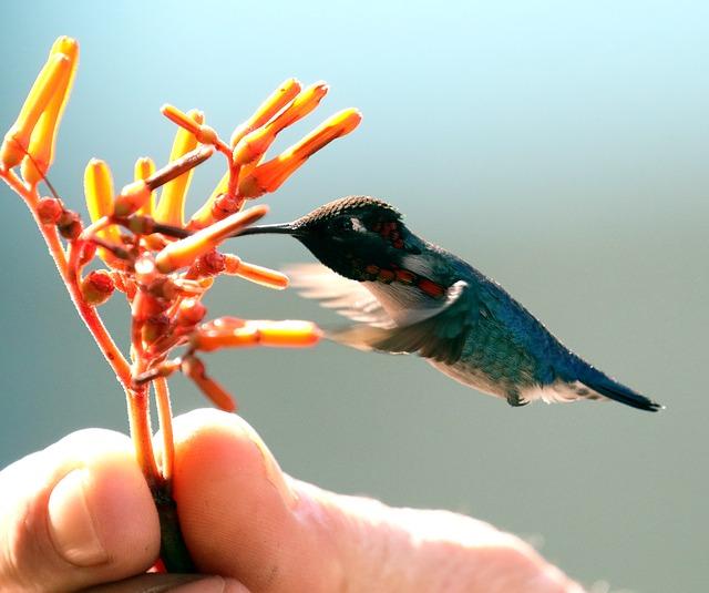 Este colibrí es el ave más pequeña del mundo