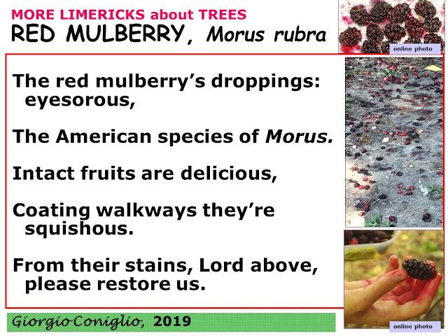 limerick; tree; red mulberry; Morus rubra; fruit; Giorgio Coniglio