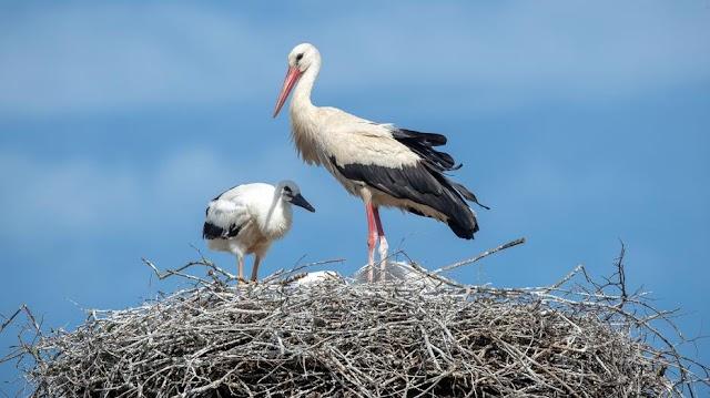 Koronavírus: félnek a járványtól, leszednék az egyetlen gólyafészket a somogyi falu lakói