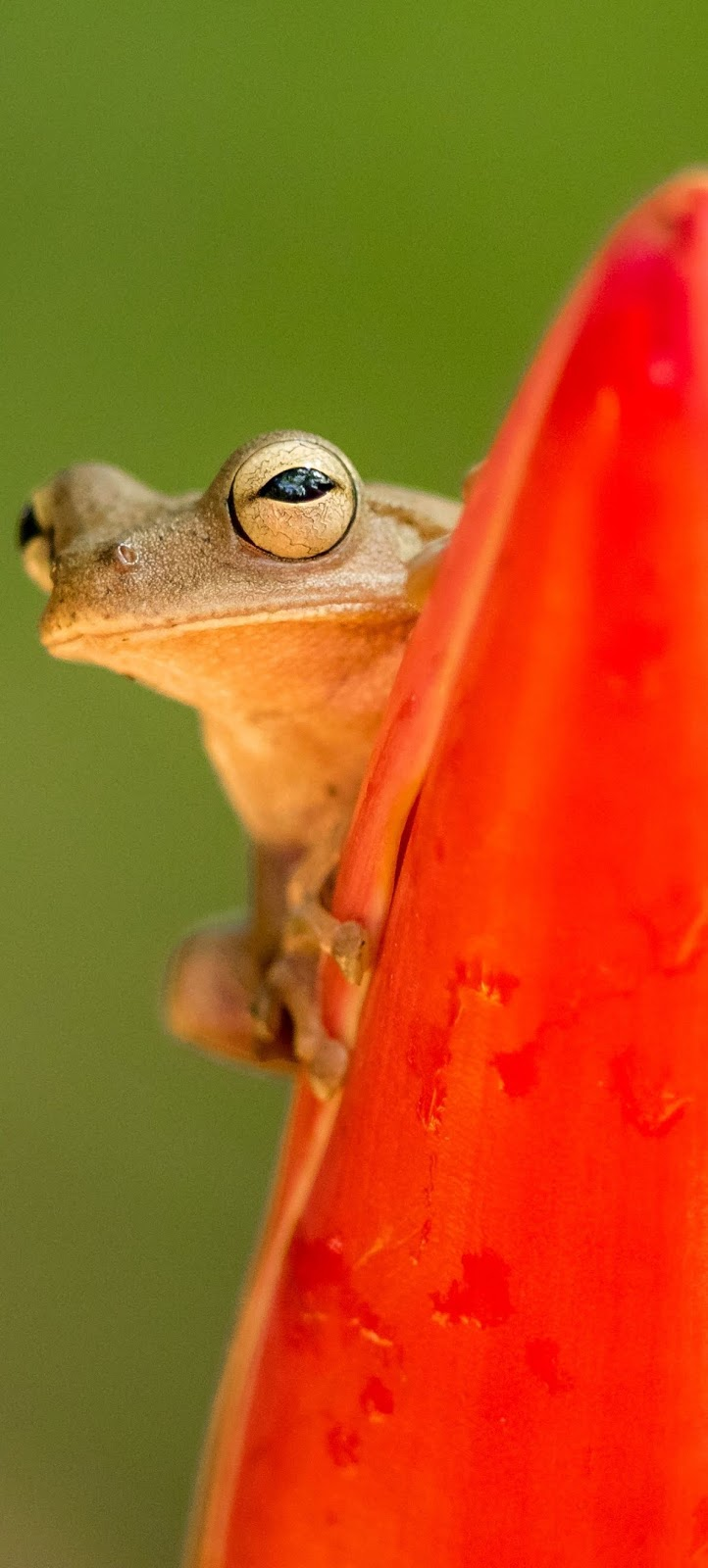 Southern brown tree frog.