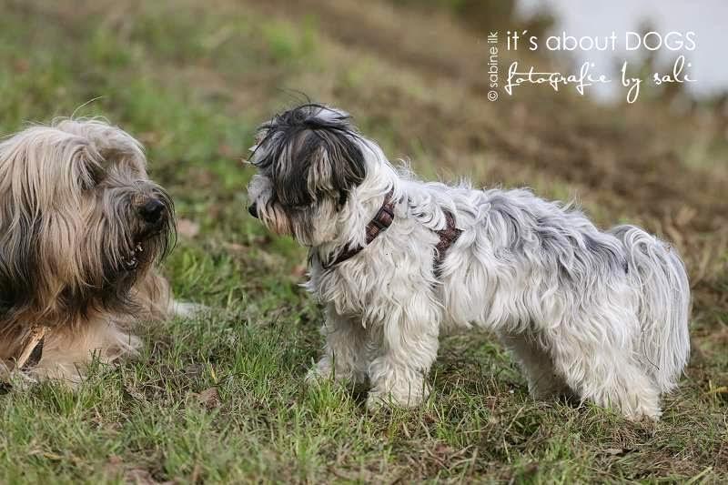 Biewer Yorkshire Terrier Lotta mit Tibet Terrier Chiru