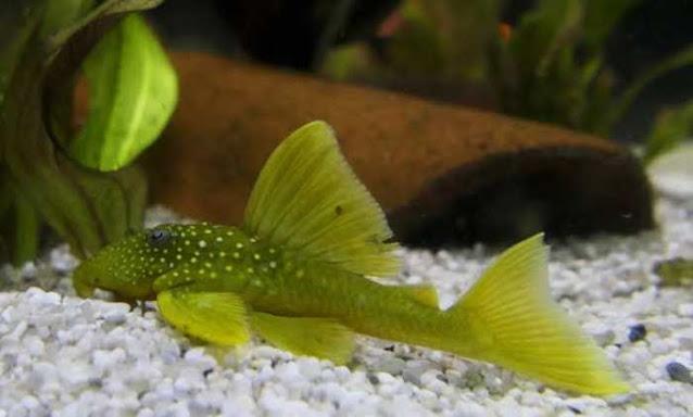 Ikan Sapu Sapu Hias Green Phantom Pleco