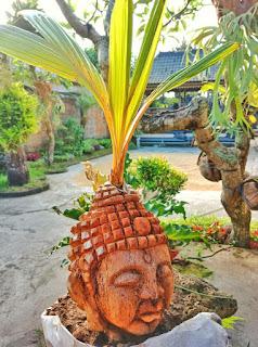 gambar bonsai kelapa gading dan perawatannya