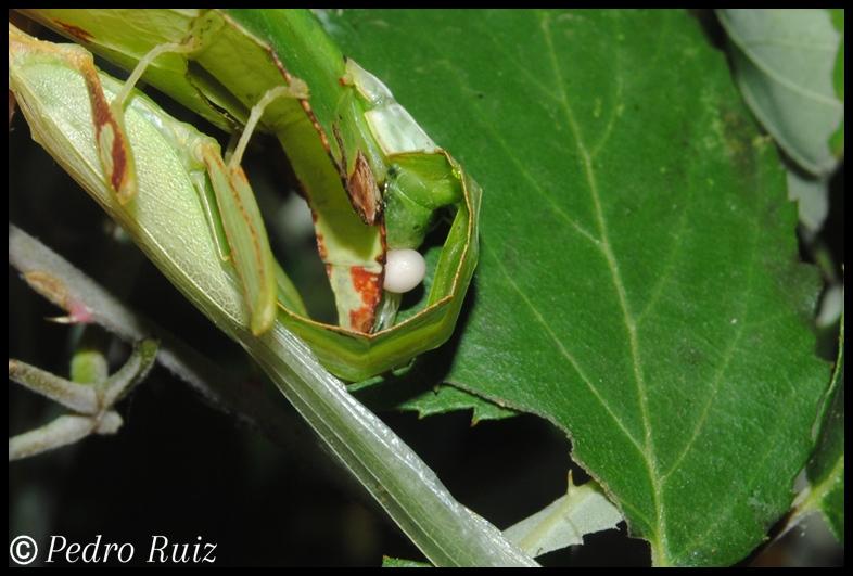 Inserción del espermatóforo en una hembra de Phyllium philippinicum