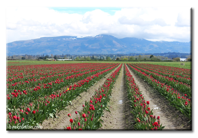 Rows and rows of different colored tulips at Skagit Valley festival