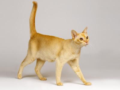 Kucing Sailan