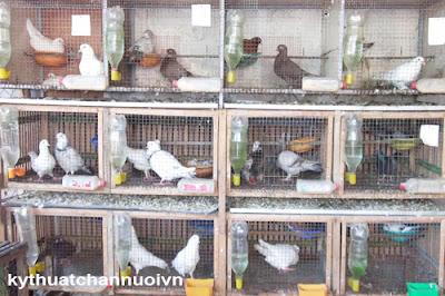 Kỹ thuật nuôi chim bồ câu