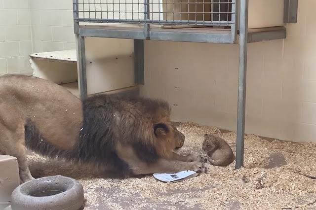 Трогательное видео, как папа-лев впервые встречает своего малыша