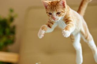 keseimbangan kucing saat meyerang
