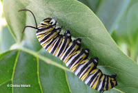 Monarch caterpillar weaving its silk pad, with spinneret visible - © Denise Motard