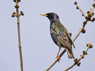 Photo of European Starling