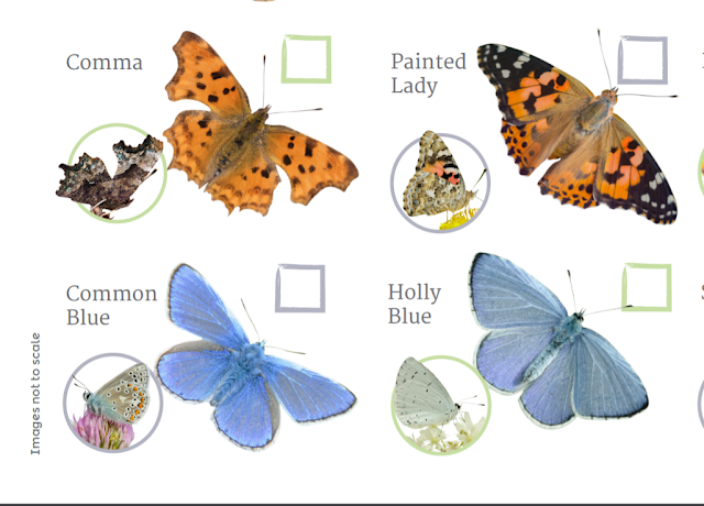 Blue butterfly ID on the Big Butterfly Count chart