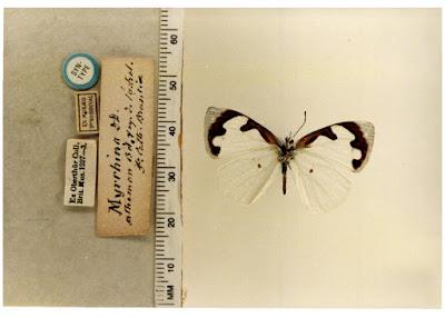 Mariposa gota de luz (Dynamine myrrhina)