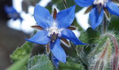 Flor azul de la borraja (Borago officinalis)