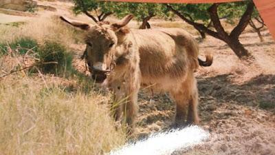 TRADUCSIÓ DE JUAN VALERA, burro, bossal