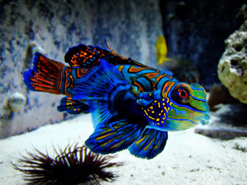 Amazing Color The Mandarin Fish