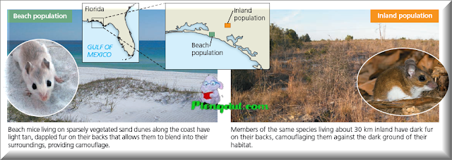 Figure Different coloration in beach and inland populations of Peromyscus polionotus.