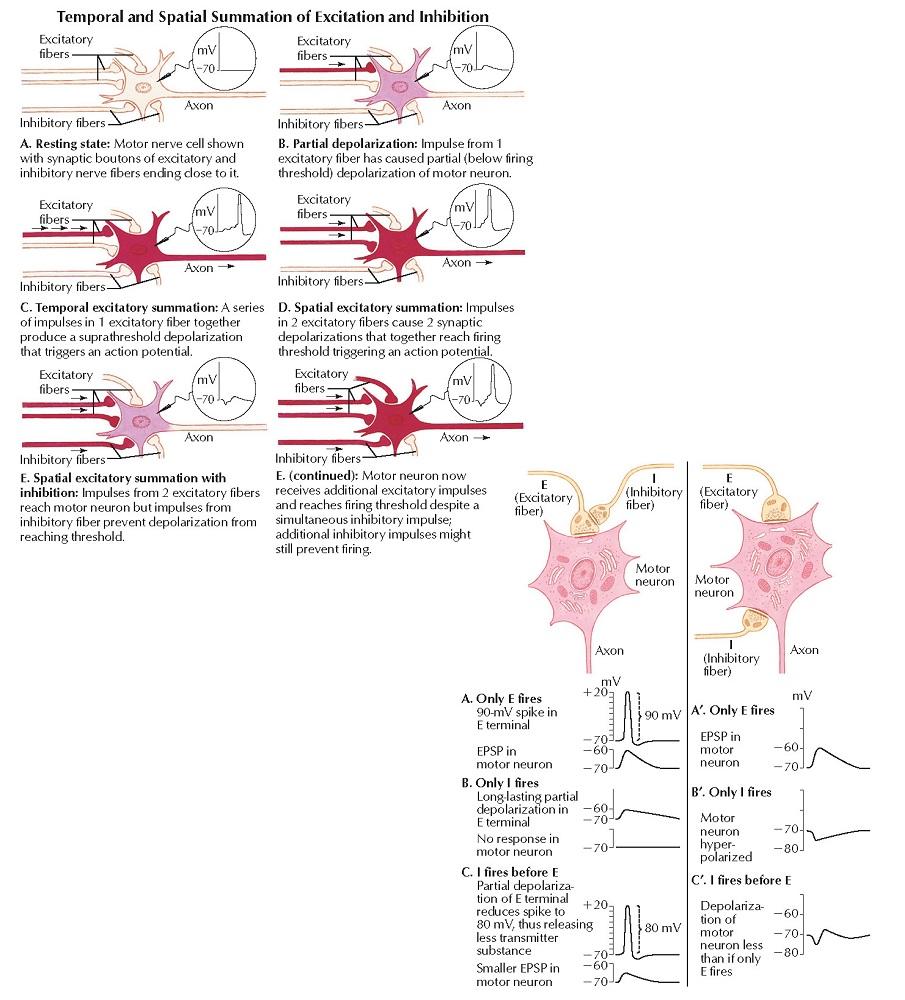 Excitatory and Inhibitory Postsynaptic Potentials