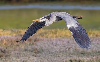 Grey Heron in flight - Woodbridge Island Cape Town