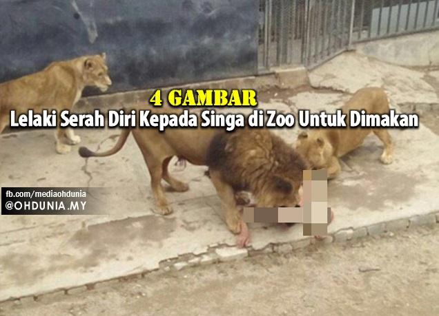Lelaki Serah Diri Kepada Singa di Zoo Untuk Dibaham (4 Gambar & Video)