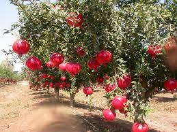 Explain the benefits of pomegranate