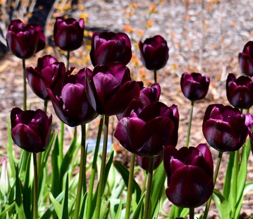 Atlanta Blooms! 2018   Atlanta Botanical Garden   Photo: Travis S. Taylor