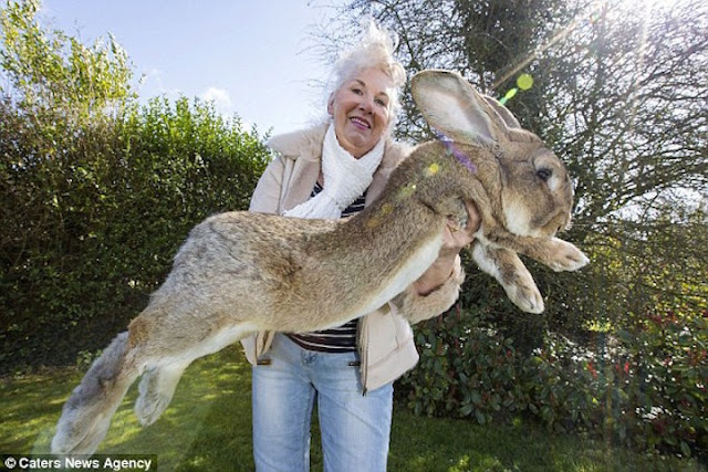 #2 Darious: Το κουνέλι από το Ηνωμένο Βασίλειο έχει μήκος 1,32 μέτρα και ζυγίζει 22,23 κιλά.