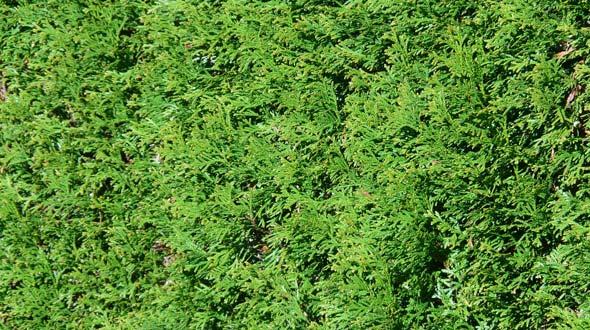 Evergreen thuja shade and hedge trees