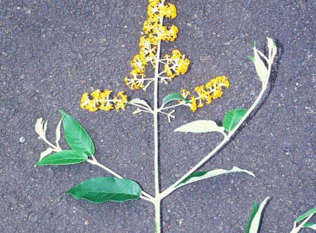 Buddleja madagascariensis indoor plants