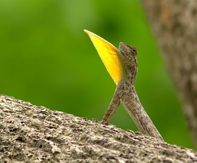 Draco Lizard - Facts, information and pictures 3